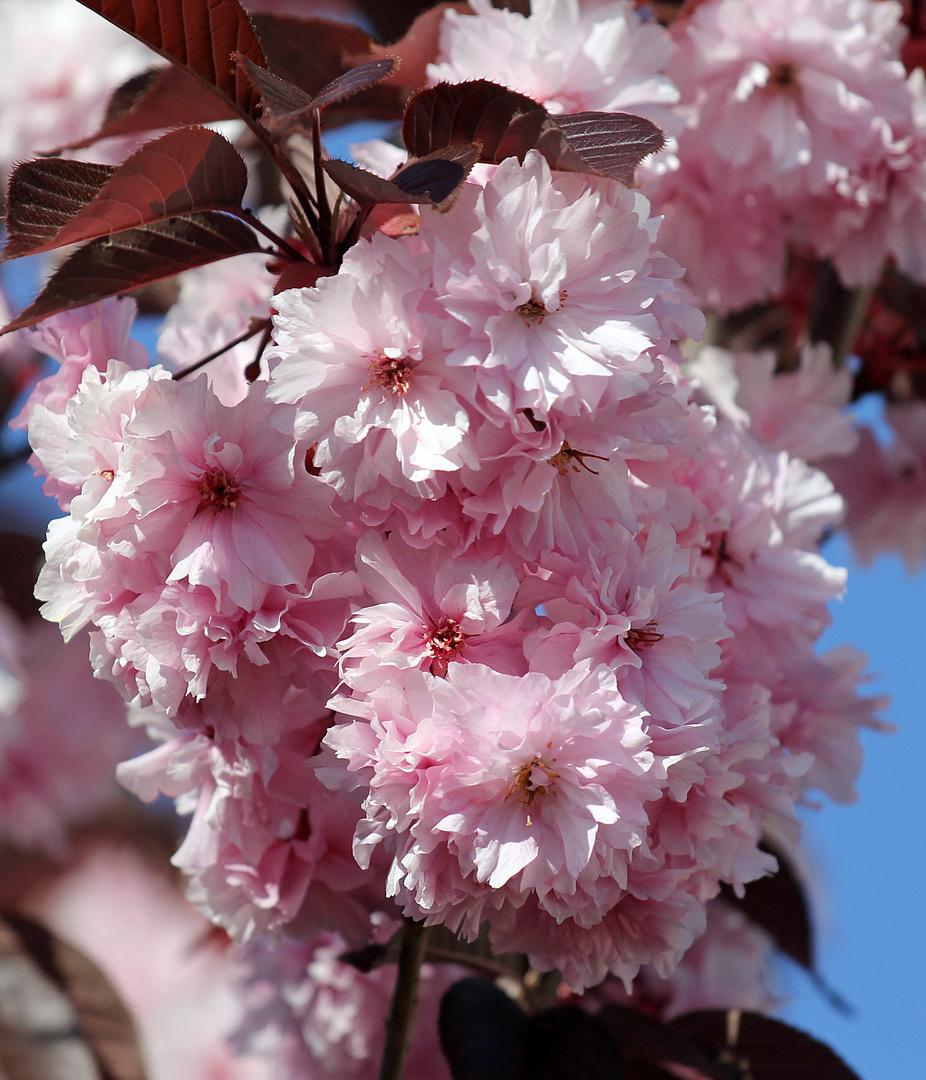 Japanische Nelkenzierkirsche -1-