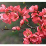 Japanische Rosenquitte
