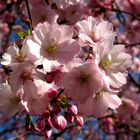 Japanische Zierkirsche (Blütenmakro) - Ostern 2009