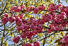 Japanische Zierkirsche im Blütenrausch