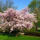 Japanische Zierkirsche in voller Blüte - Ostern 2009