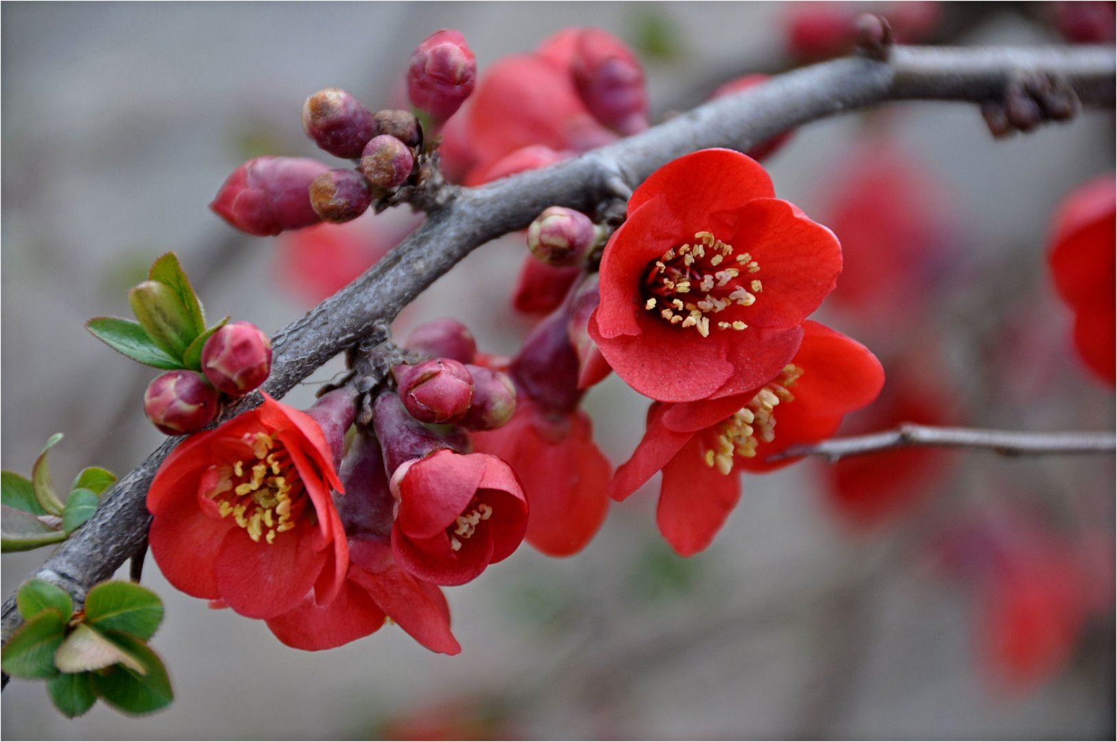 Japanische zierquitte foto bild pflanzen pilze flechten bl ten kleinpflanzen - Japanische gartenpflanzen ...