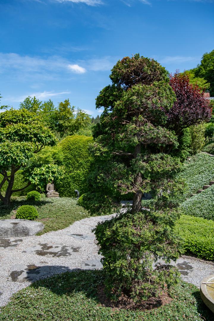 Japanischer Garten Mit Zier Zypresse Foto Bild Pflanzen Pilze