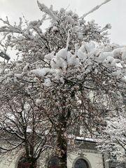 Japanischer Kirschbaum mit Blüten