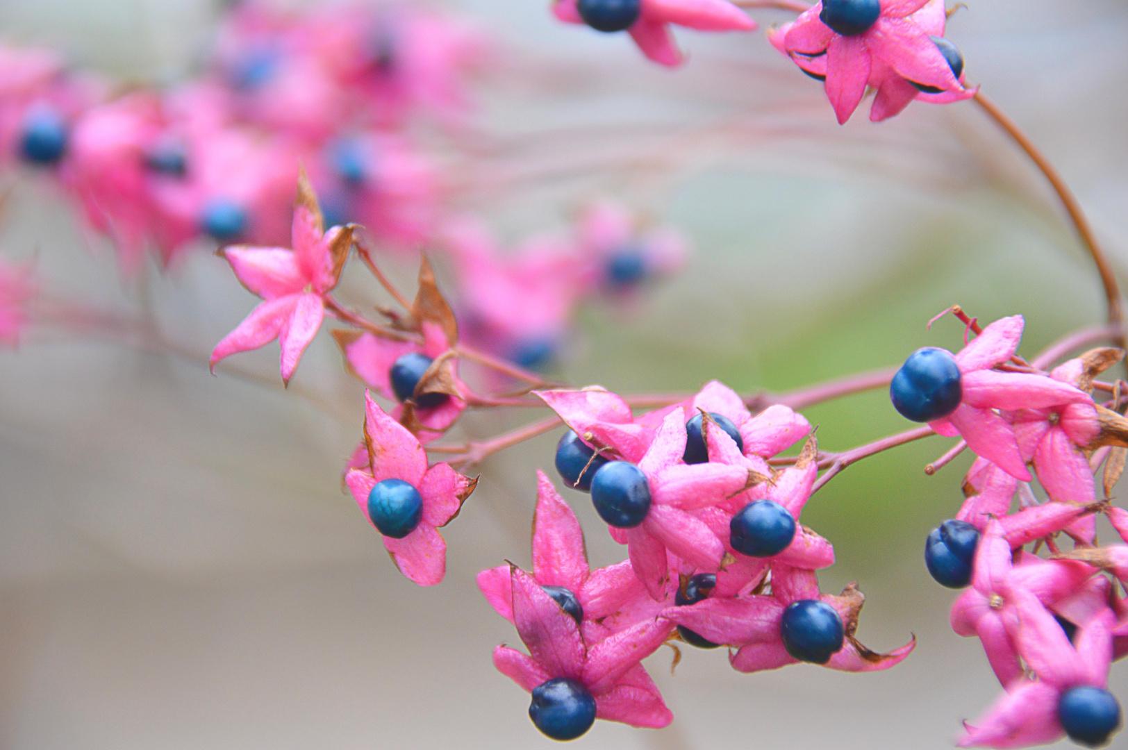 Japanischer Losbaum Foto Bild