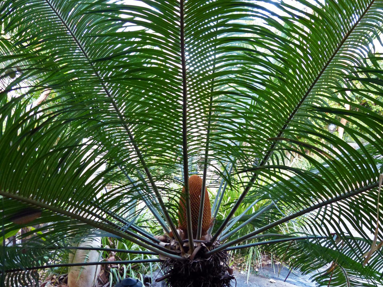 Japanischer Palmfarn in Australien