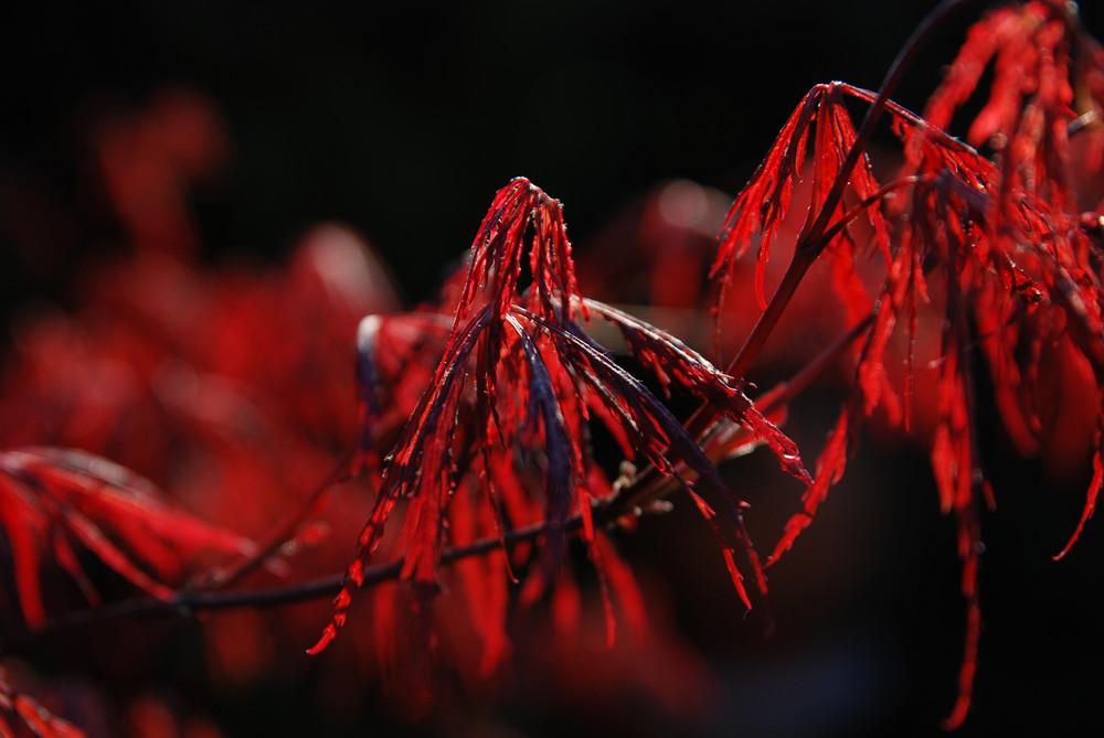japanischer roter Fächer Ahorn