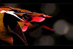 Japanischer Zier Ahorn Frucht rot Acer palmatum