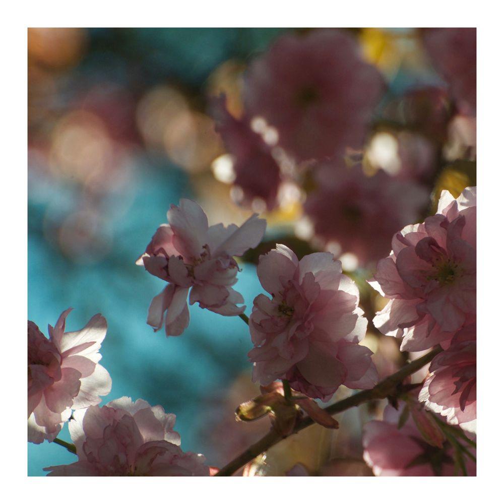 Japanisches Blütenmeer