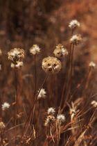 jaramagos secos, septiembre en el campo.
