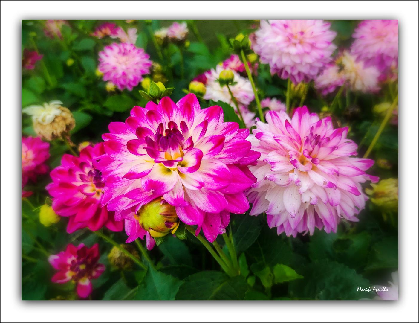 Jardín de dalias