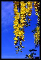 jaune...