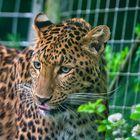 Java Leopard