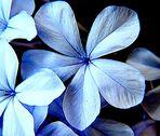 Jazmín Azul para un final de Verano.