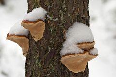 Jedem Pilzchen sein Hütchen. - Champignons dans leur tenue hivernale.