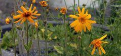 Jeden Tag sind weitere Blüten offen bei Arnica montana