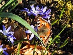 Jedes Jahr die ersten Schmetterlinge