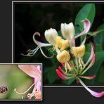 Jelängerjelieberblüte (was für ein Wort ;o) mit Schwebefliege ...