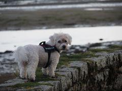 Jerry beim Spaziergang am Meer