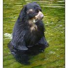 Jetzt bin ich wieder Sau-Bär