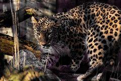 """Jetzt geht es bei mir noch einmal tierisch zu. Der """"Persischer Leopard"""""""