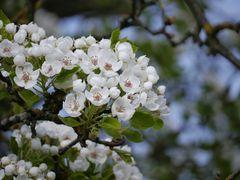 Jetzt ist die Birne dran, Kirschblüten sind out.