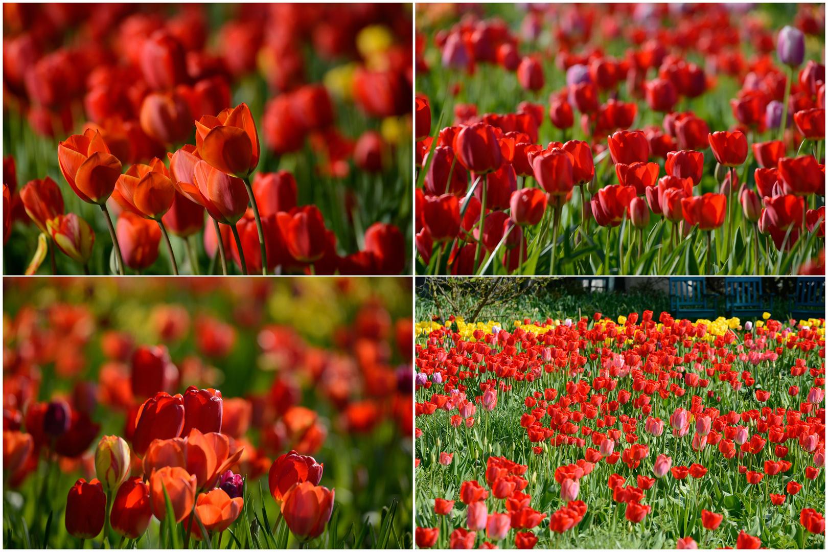 Jetzt ist die Zeit der Tulpen schon vorbei !