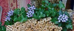 Jetzt ist es soweit, das die Blüten der Physoplexis comosa längs aufplatzen...