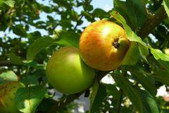 Jetzt sind die Äpfel bald erntereif ...