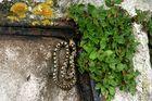 Jeune couleuvre à échelons, Elaphe scalaris