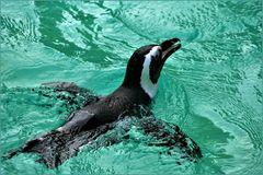 jeune et joli pingouin qui s amuse ....