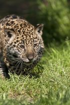 Jeune Jaguar
