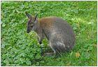 Jeune kangourou