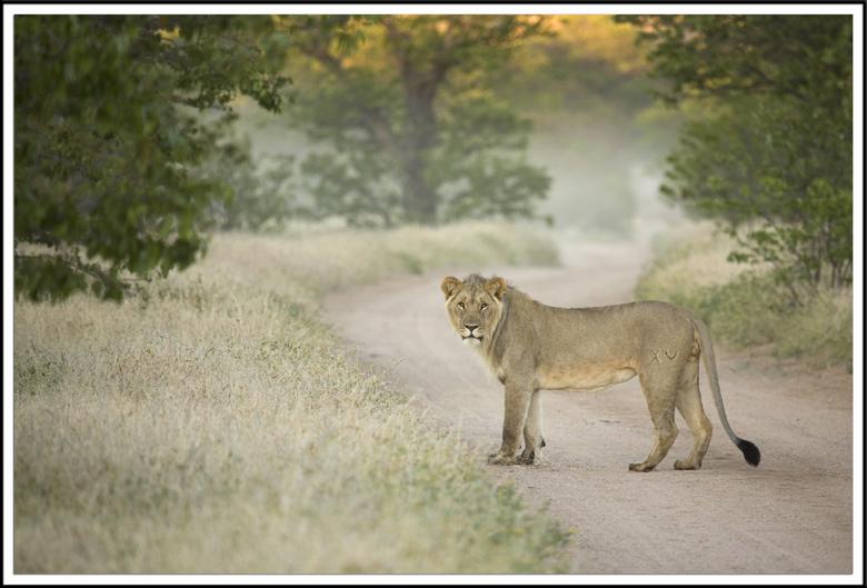 Jeune lion a l'aube, Namibie