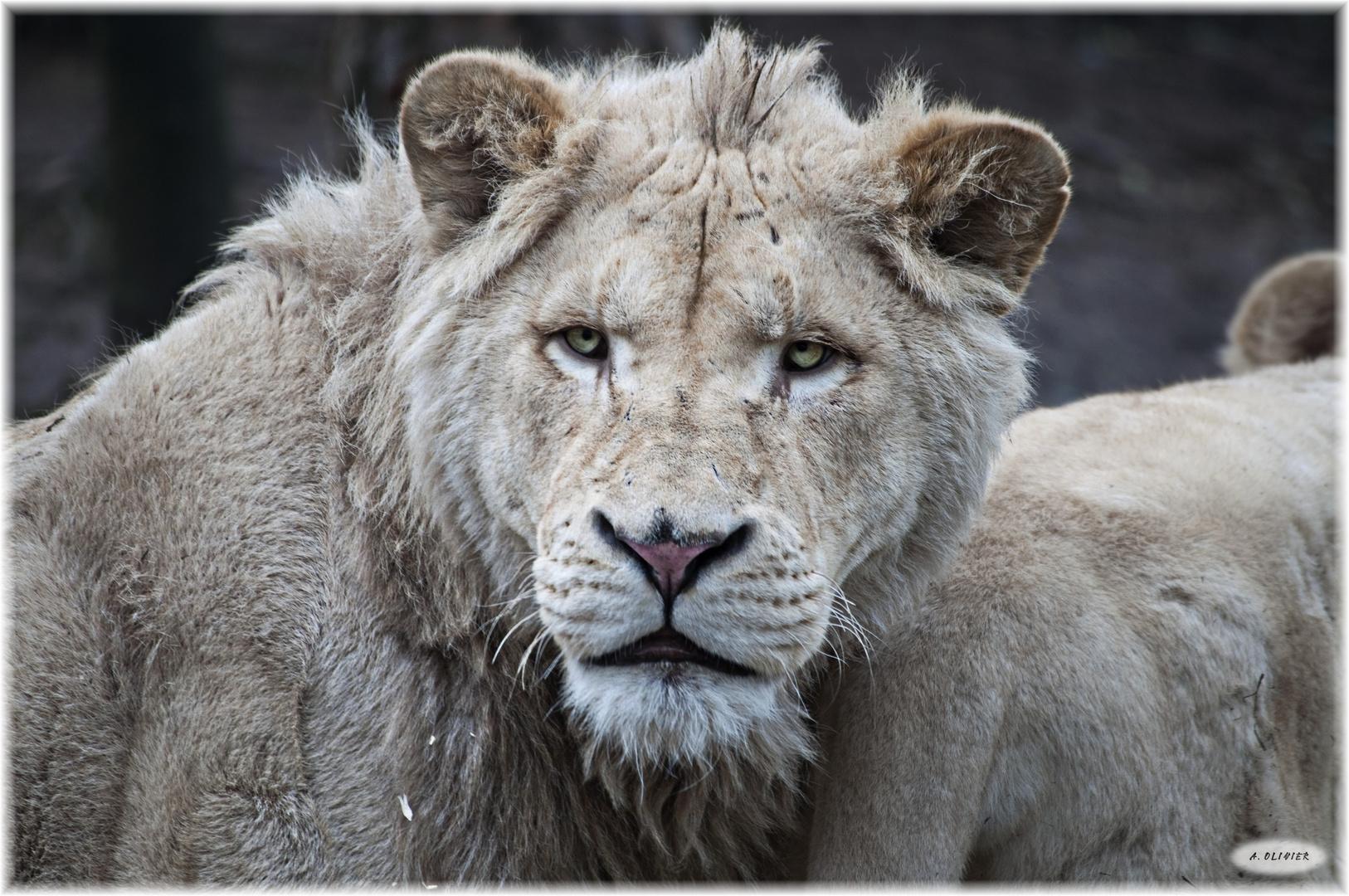 Jeune lion blanc...