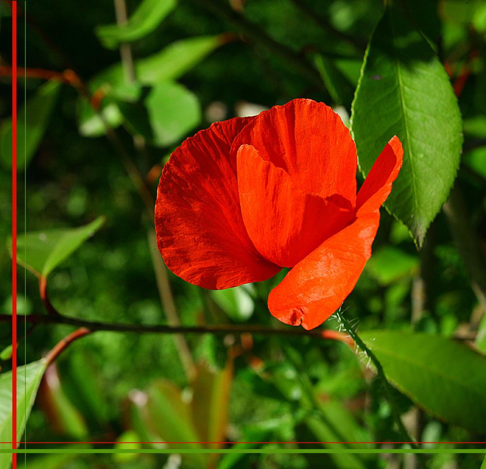 jeune pousse de rose