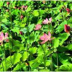 Jeunes lotus