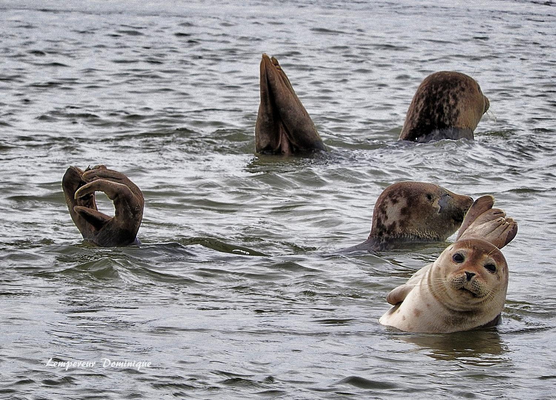 jeux de phoques en baie d' authie