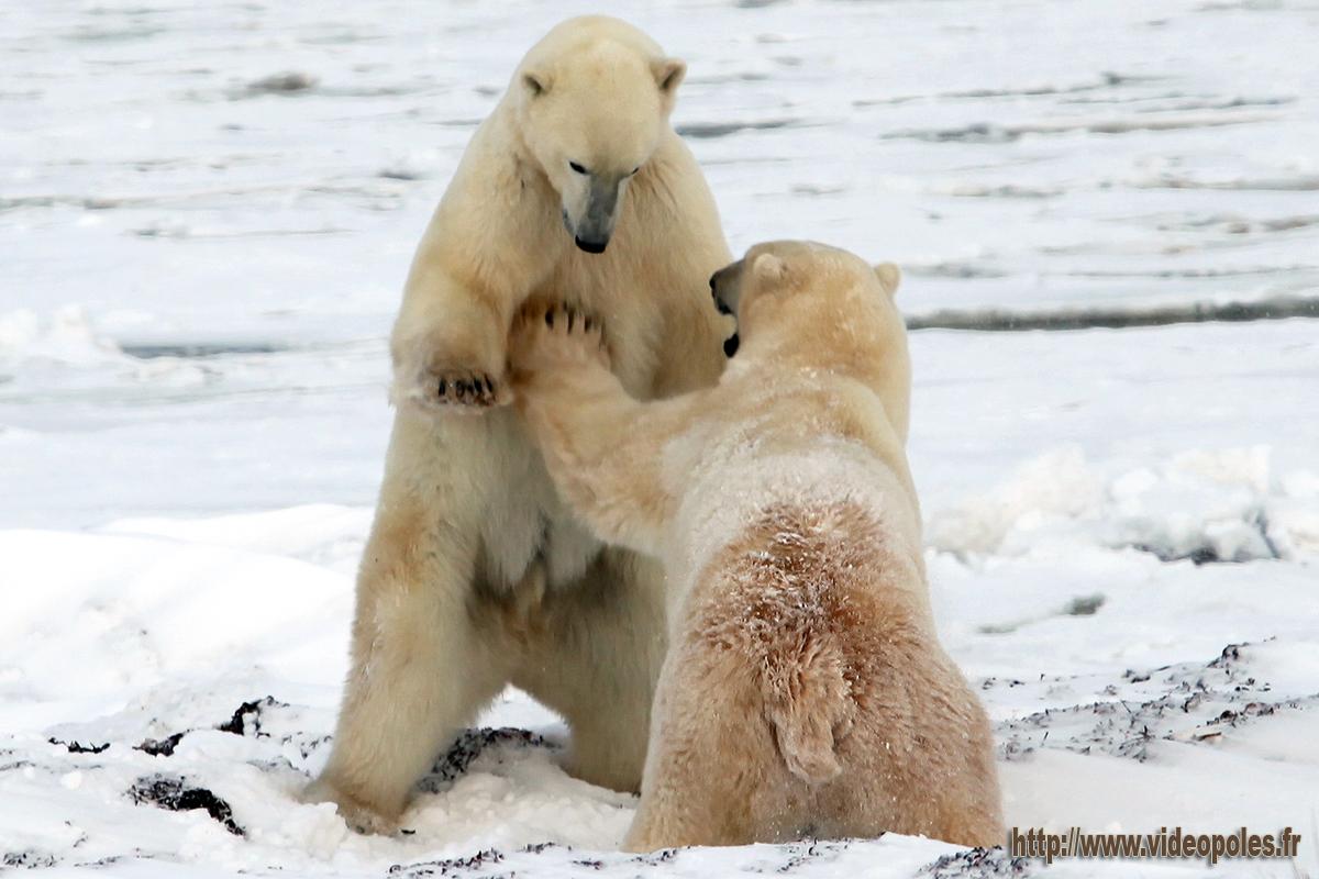 Jeux d'ours polaires