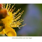 Johanniskrautblüte nach dem Regen