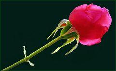 Joli Mai, le mois des roses ....