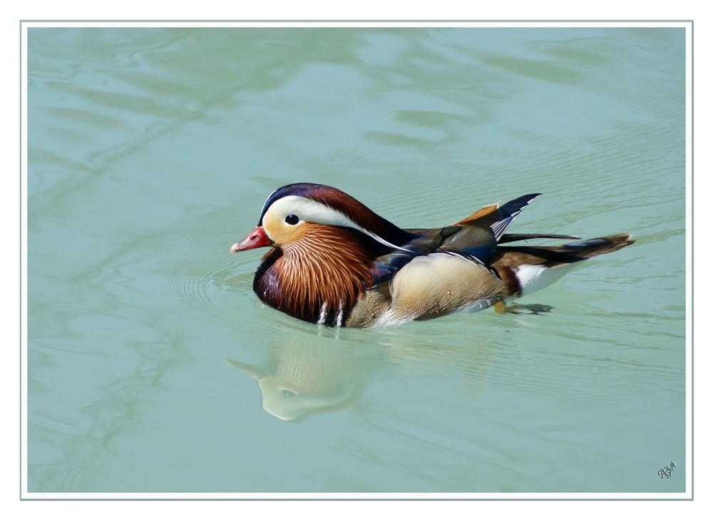 joli plumage