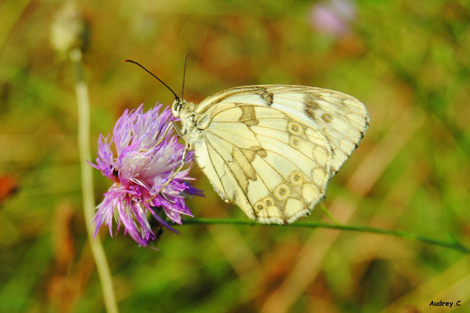 Jolie papillon dans les champs