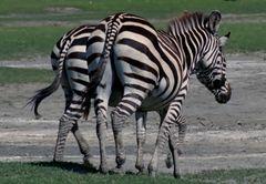 jolies croupes de zebres
