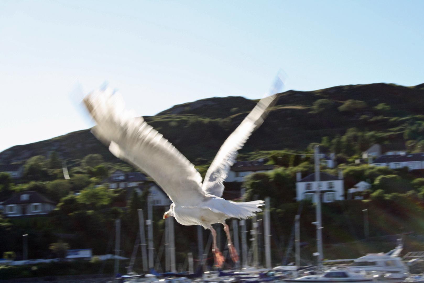 Jonathan Livingston Seagull Scottish Version for Sabine