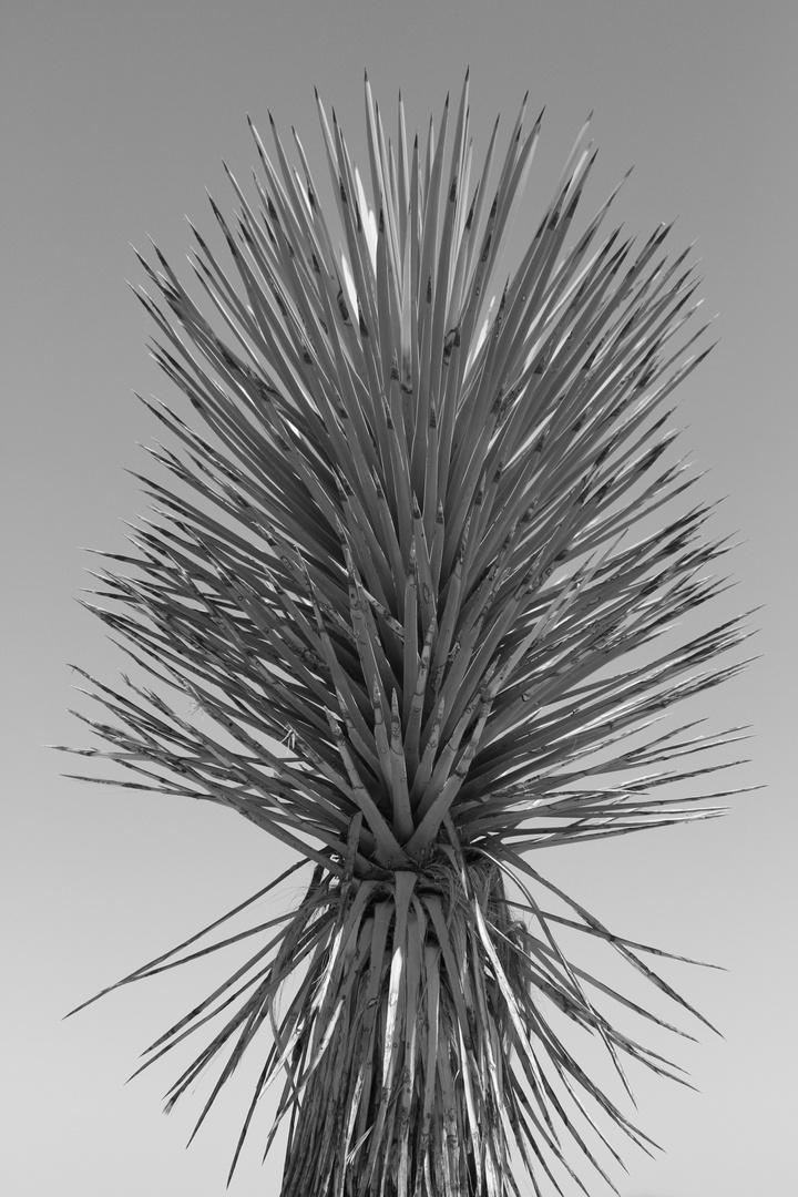 Joshua Tree #5