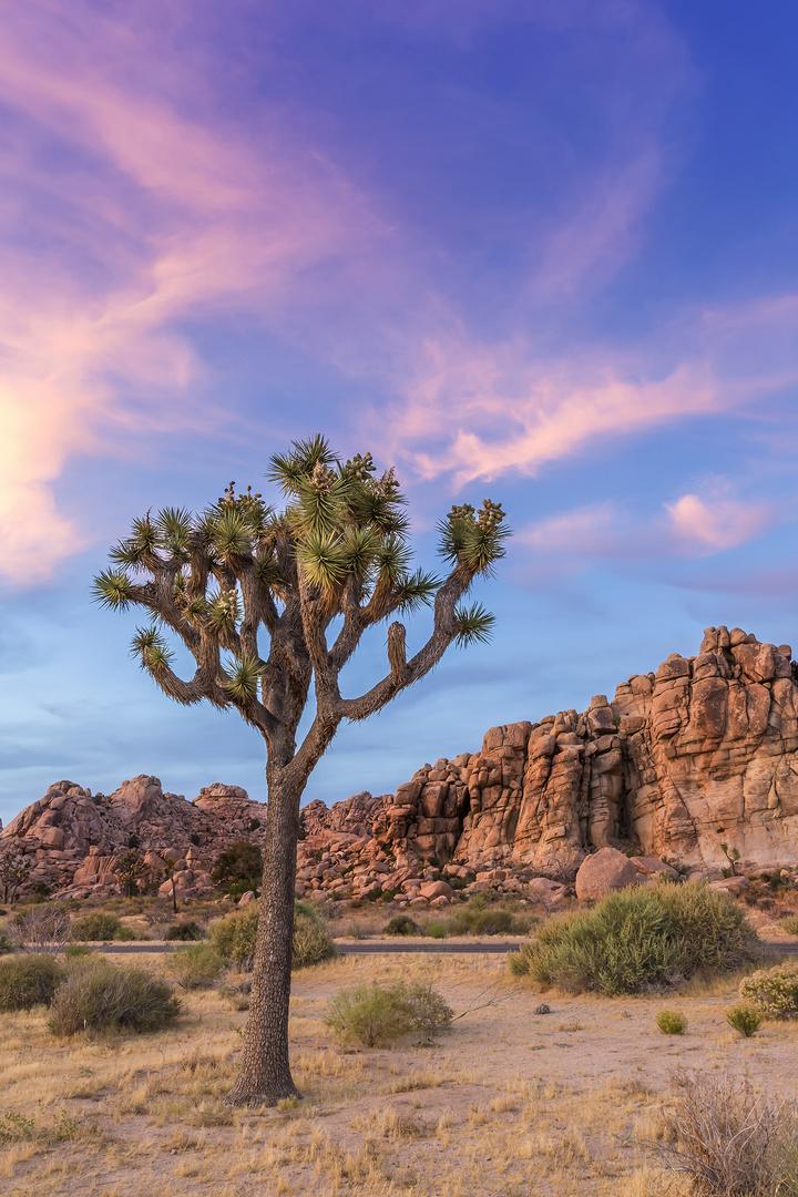 Joshua Tree im Abendlicht