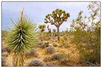 Joshua Tree N.P. - California, USA