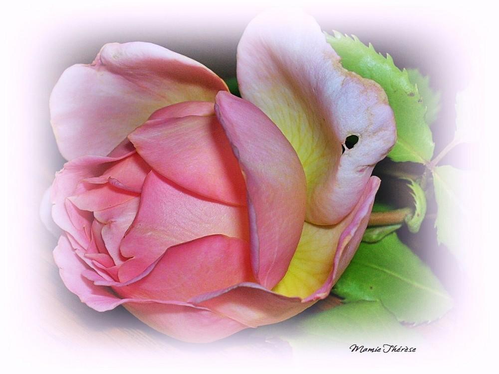Jubilee Celebration Rose von David Austin