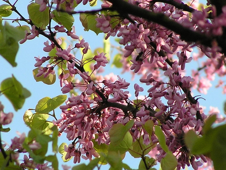 Judasbaum. Blüten